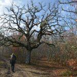 Superbe chêne Versant Nord